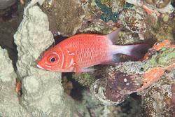 BD-120424-Marsa-Alam-6311-Sargocentron-caudimaculatum-(Rüppell.-1838)-[Silverspot-squirrelfish].jpg
